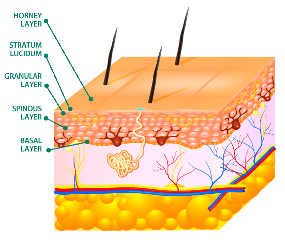 The epidermis is divided into layers or strata